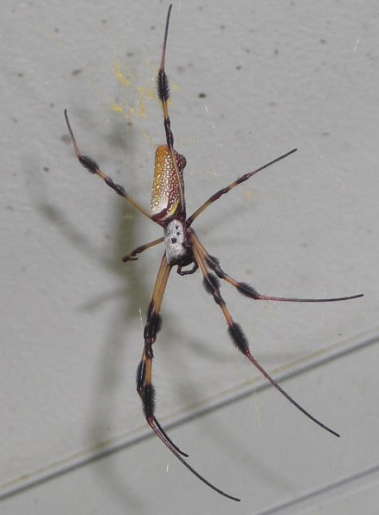 Nephila clavipes (banana spider) by Rady Ananda Sept.2009, Ft. Lauderdale