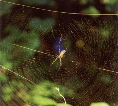 Nephila clavipes (banana spider) Josh Hillman