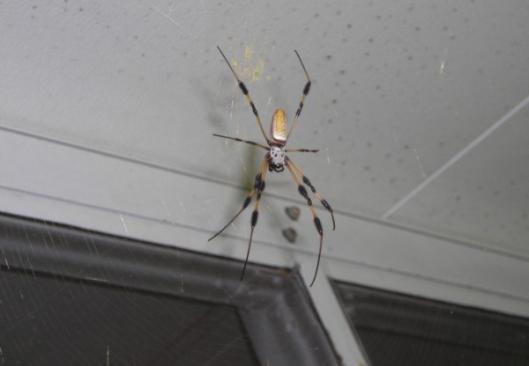 Nephila clavipes (banana spider) Rady Ananda Sept.2009 So FLA