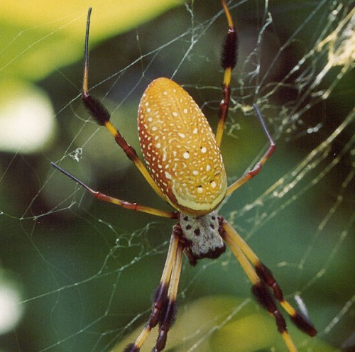 Nephila clavipes (banana spider) Josh Hillman 2002 Tallahassee FL