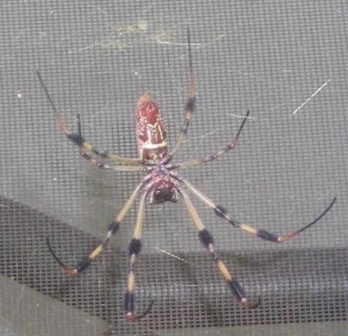 Nephila clavipes (ventral view) Rady Ananda Sept.2009 So FLA