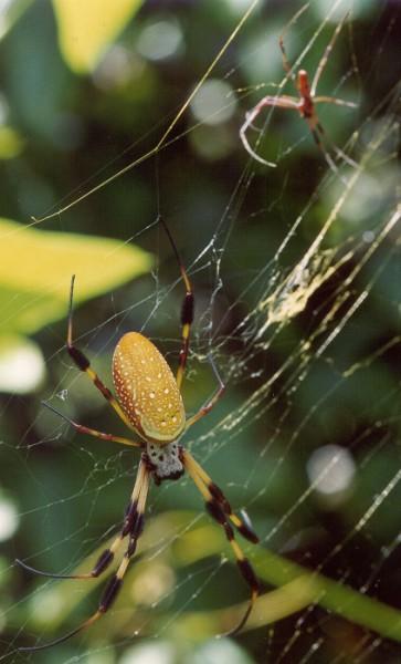 Nephila clavipes (with male) Josh Hillman 2002 Tallahassee FL