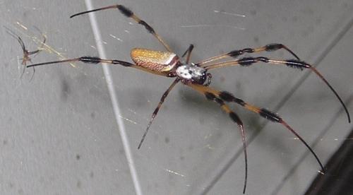 Nephila clavipes (with male) by Rady Ananda Sept.2009 South FLA